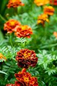 Orange marigold flowers — Stock Photo