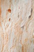 Sycamore tree texture — Stock Photo