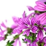 Wild violet flowers — Stock Photo #31313813