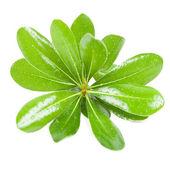 Folhas verdes frescas — Foto Stock