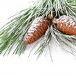 Fir tree branch with pinecones — Stock Photo #34042201