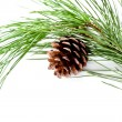 Fir tree branch with pinecone — Stock Photo