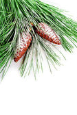 Fir tree branch with pinecones — Stock Photo