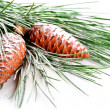 Stock Photo: Fir tree branch with pinecones