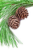 Fir tree branch with pine cones — 图库照片