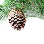 Fir tree branch with pinecone — ストック写真