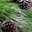 Fir tree with pinecones — Stock Photo