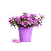 Vilda violetta blommor i hink — Stockfoto