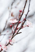 Spring blossoms — Stock Photo