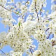 Cherry blossom with white flowers — Stock Photo #43266667