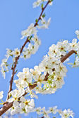 Cherry blossom with white flowers — Stock Photo