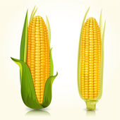 Ripe corn on the cob — Stock Vector