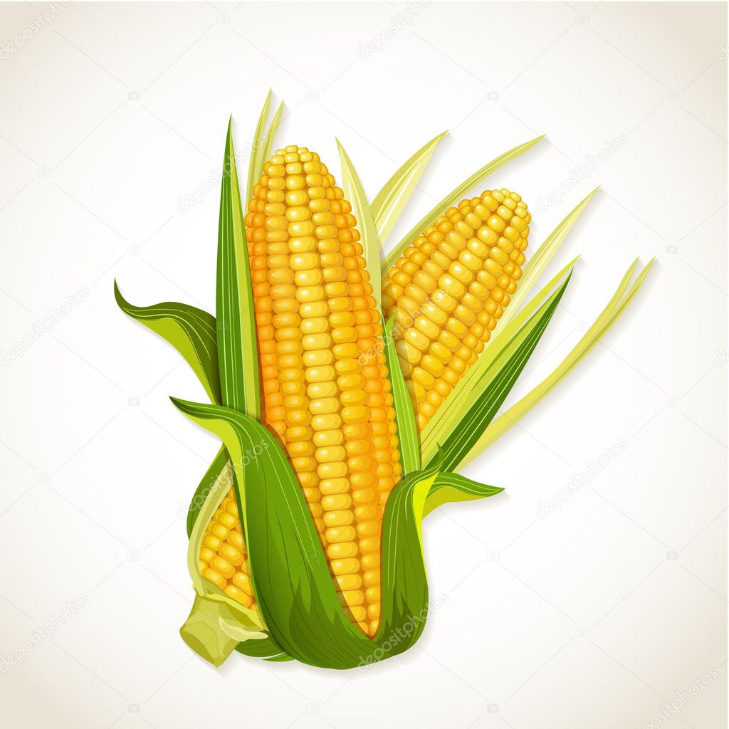 Ripe corn on the cob — Stock Vector © Oksana #26365313