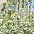 White flowering shrub — Stock Photo