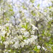 Stock Photo: White flowering shrub
