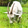 Goat grazing in a meadow — Stock Photo