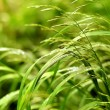 Sedge grass with dew — Stock Photo