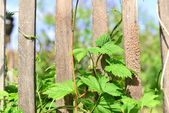 Curly hops on the fence — Stock Photo