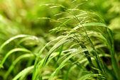 Sedge grass with dew — Stock Photo