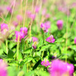 Stock Photo: Glade of blossoming clover