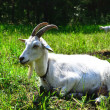 Goat in the pasture — Stock Photo