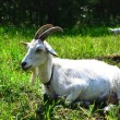 Stock Photo: Goat in the pasture