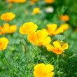 Lawn of orange flowers — Stockfoto