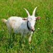 Stock Photo: Young goat in the pasture