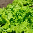In the garden Salad leaves — Stock Photo
