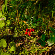 Lingonberry useful wild berry — Stock Photo