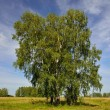 Rural landscape with birch — Stock Photo