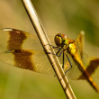 Dragonfly on a blade of grass — Stock Photo