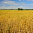 Natural landscape with wheat field — Stock Photo