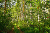 Summer forest landscape — Stock Photo