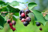 Bacca di saskatoon delizioso su arbusto deciduo — Foto Stock