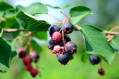 Baga saskatoon deliciosa no arbusto de folha caduca — Fotografia Stock