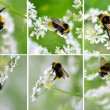 Bumble bee on flowers. set — Stock Photo
