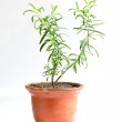 Home flower in a pot. rosemary — Stock Photo