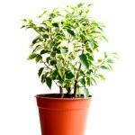 Home flower in a pot. ficus benjamina — Stock Photo