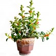 Home flower in a pot. hypocyrta nummularia — Stock Photo
