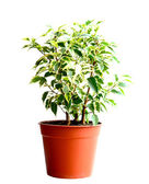 Home flower in a pot. ficus benjamina — Stock Photo