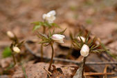 Wild flowers in the forest early Siberia. Anemone sylvestris — Stock Photo