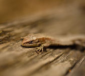 Common lizard — Stock Photo