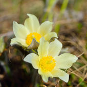 Forest primroses in Siberia — Stock Photo