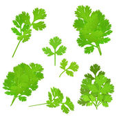 Parsley herb — Stock Vector