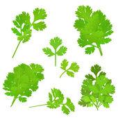 Parsley herb — 图库矢量图片