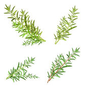 Rosemary herb — Stock Vector