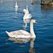 Group of floating swans  — Photo