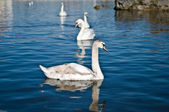Group of floating swans — Stock Photo