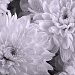 Chrysanthemums close up — Stock Photo